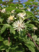 clematis bachbloesems